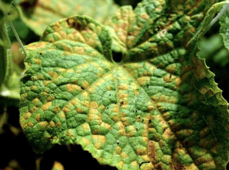 Downy-mildew-virus