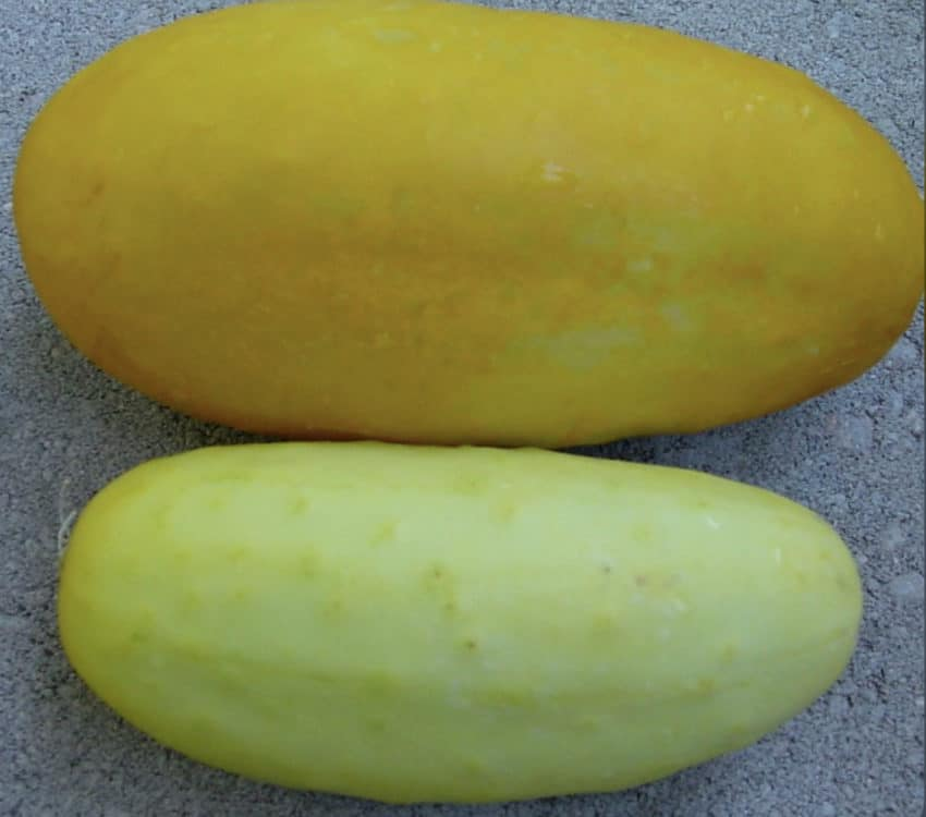 Cucumber-plants-turning-yellow