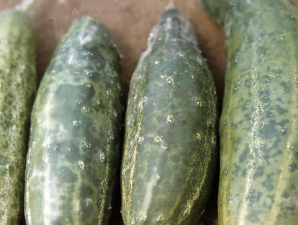 Mosaic-virus-cucumbers