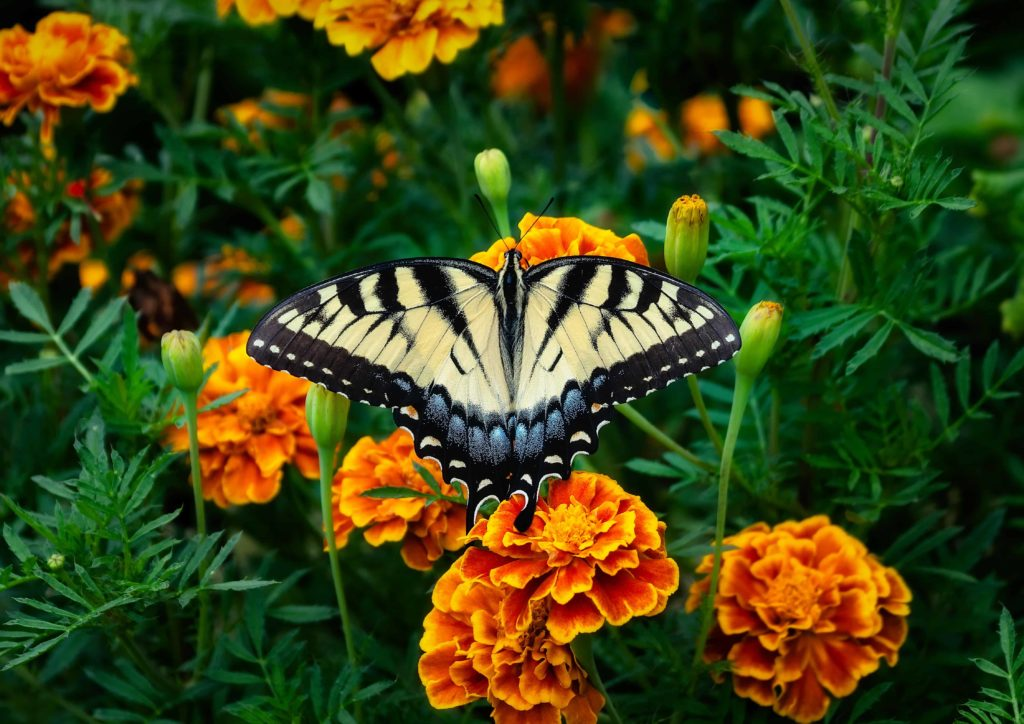 marigold-plants