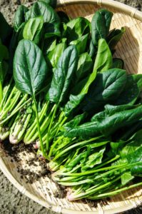 Grow-Spinach-in-cups