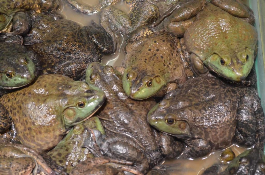 Remove-frogs-from-garden