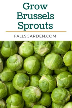 grow-brussels-sprouts