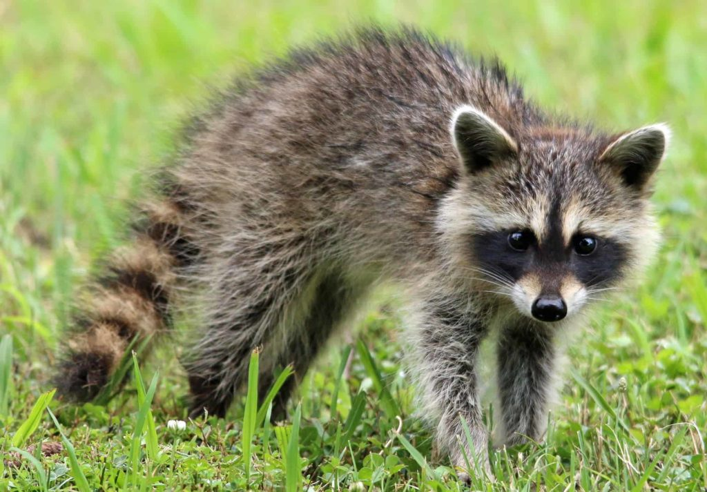 Raccoons-in-backyard