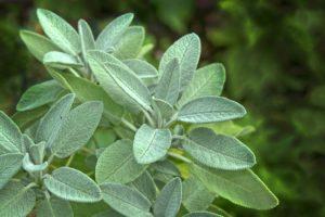 Sage-plants