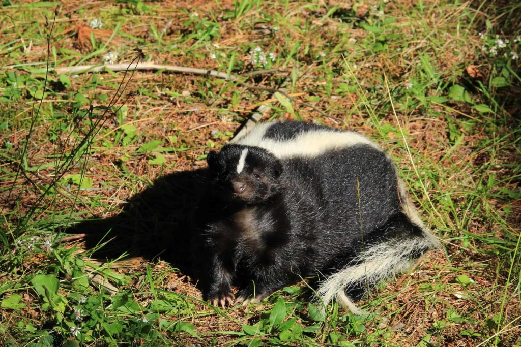 Skunk-digging-holes