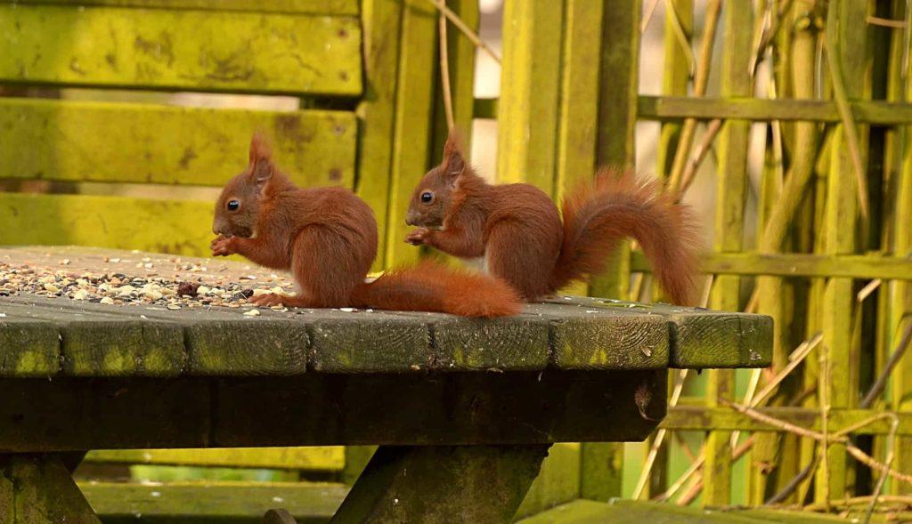 squirrels-digging-up-lawn