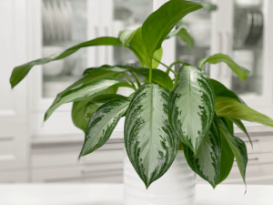 Chinese-evergreen-in-water