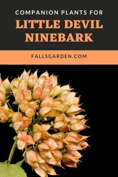 Companion-Plants-For-Little-Devil-Ninebark