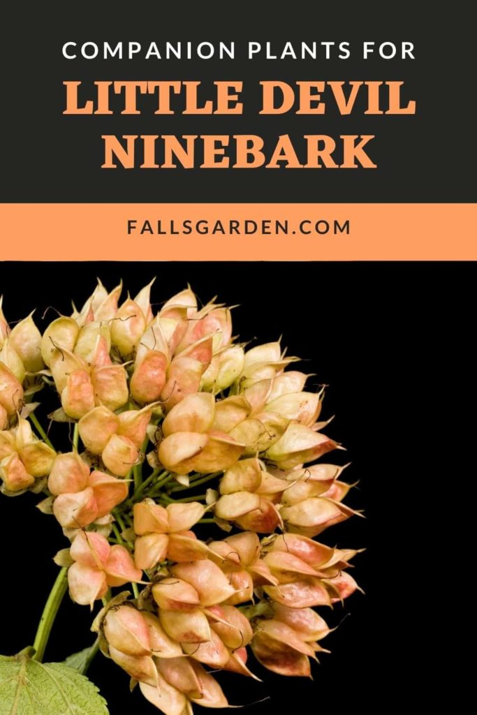 Companion-Plants-For-Little-Devil-Ninebark