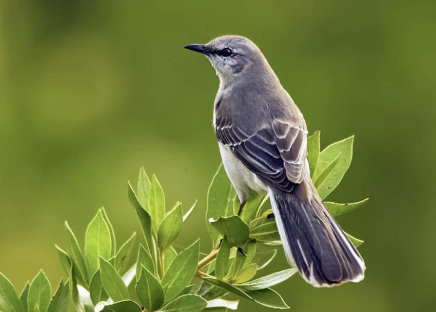 Get-rid-of-mockingbirds