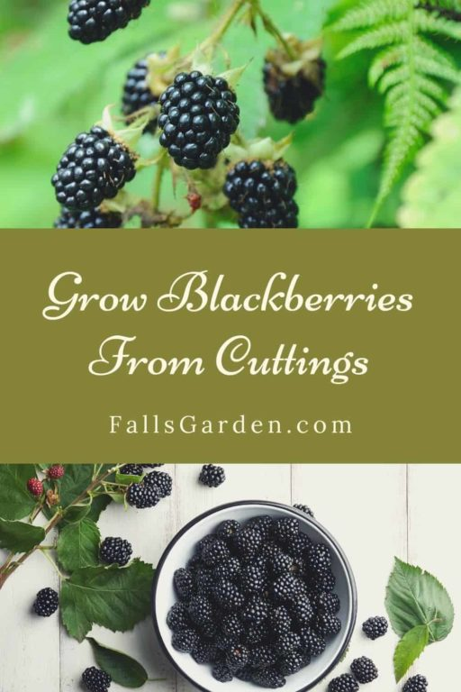 How-to-Grow-Blackberries-From-Cuttings