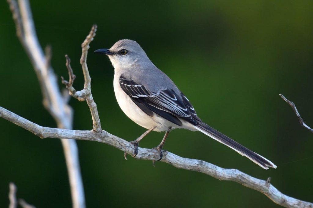 mockingbird-in-backyard
