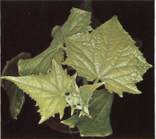 sulphur-deficiency-in-cucumbers