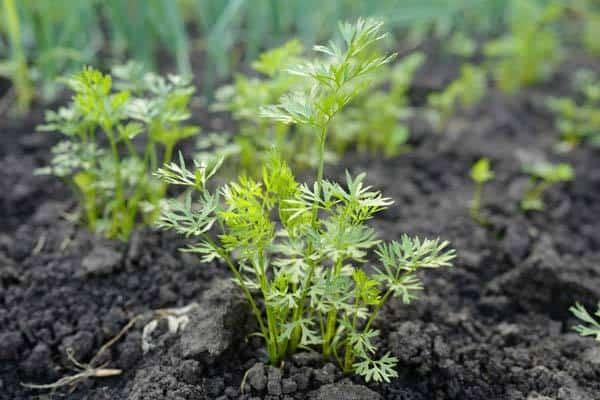 Carrot-leaves