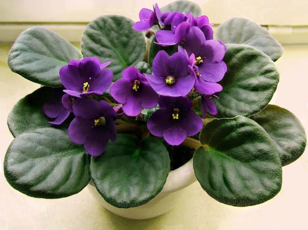 grow-African-violets-in-water