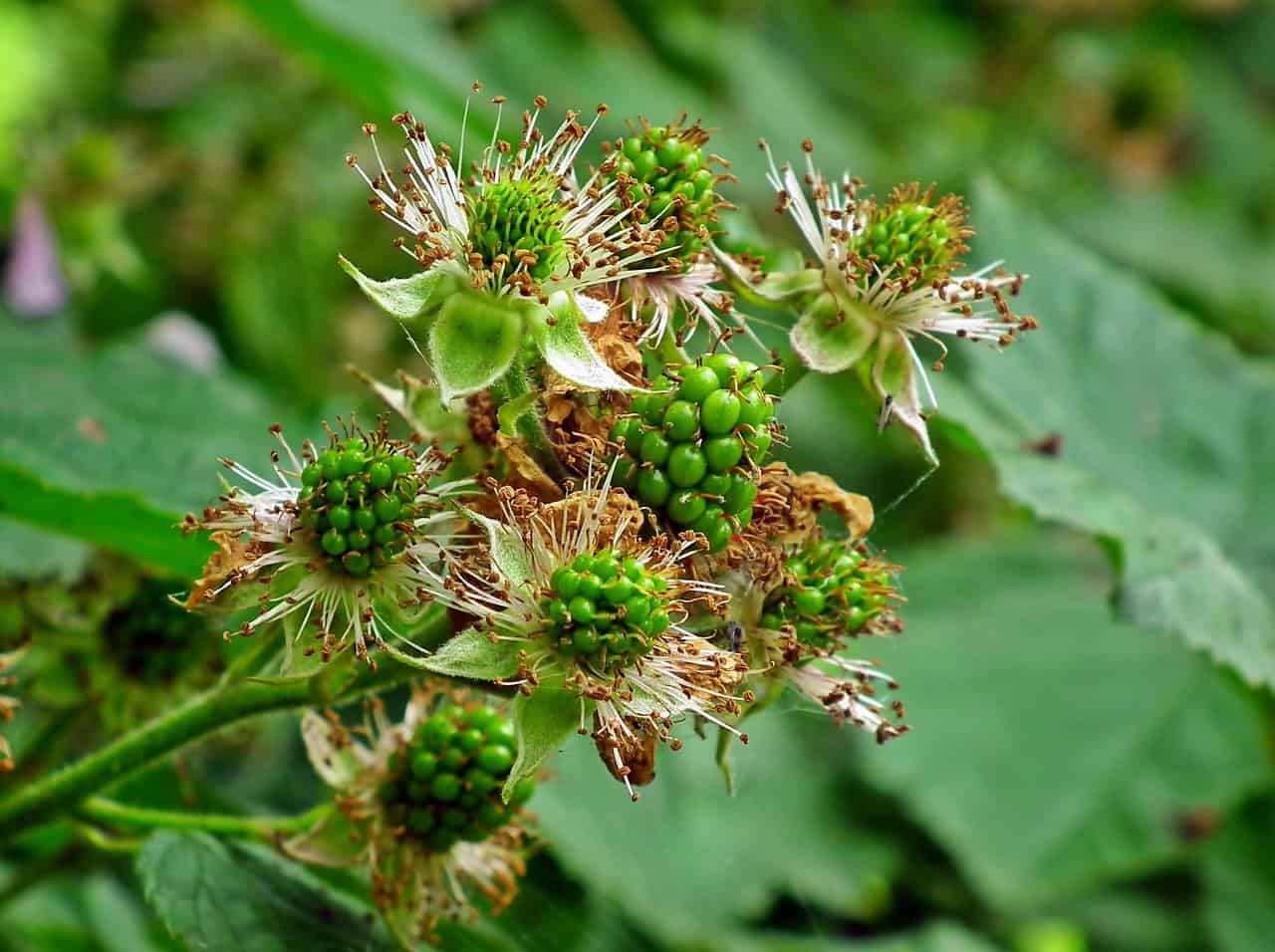 young-Blackberry-buds