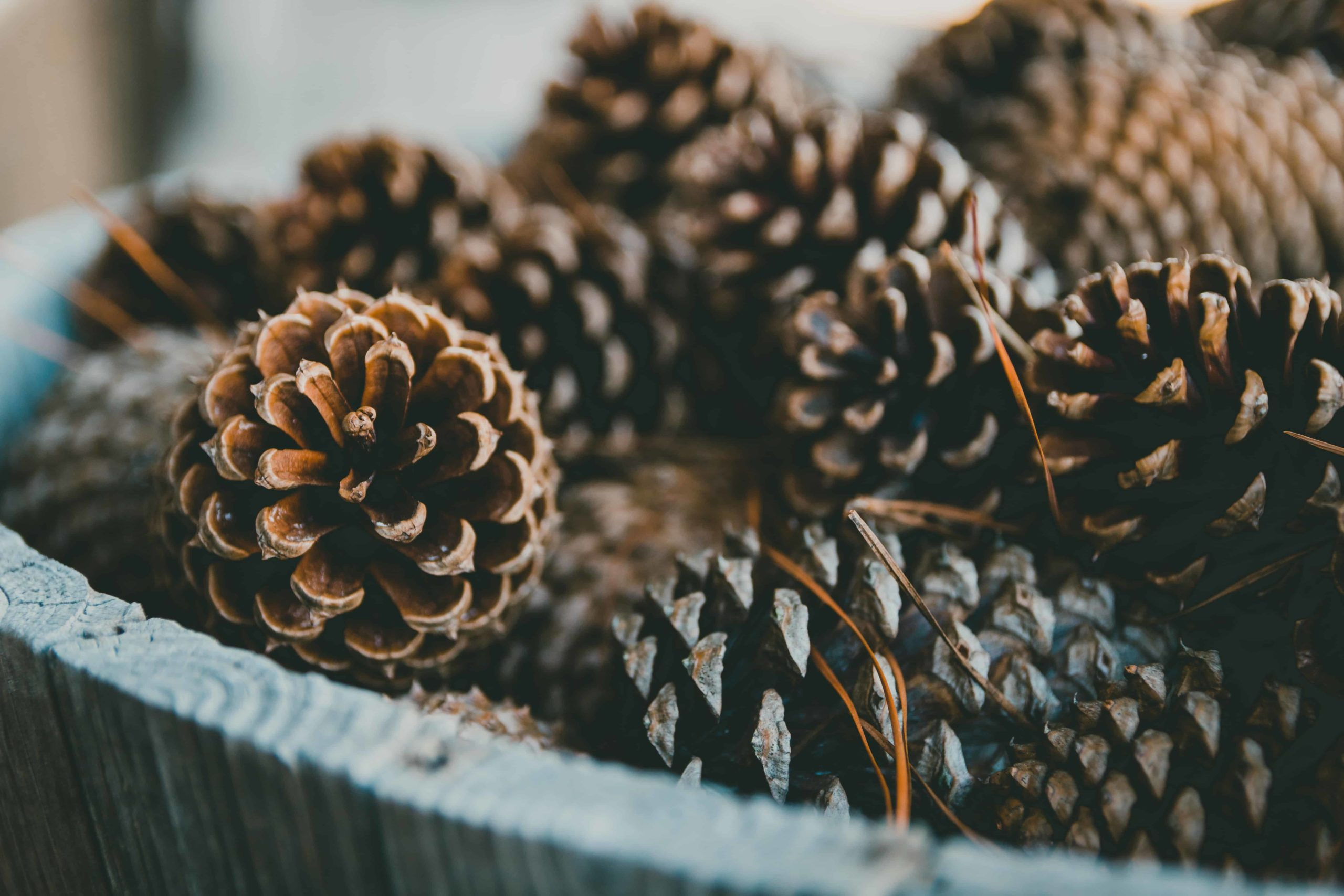 Pine-Cones-to-keep-cats-away