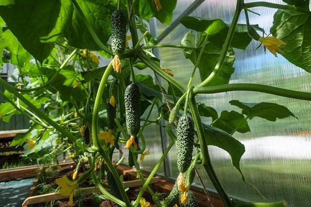 epsom-salt-for-cucumbers