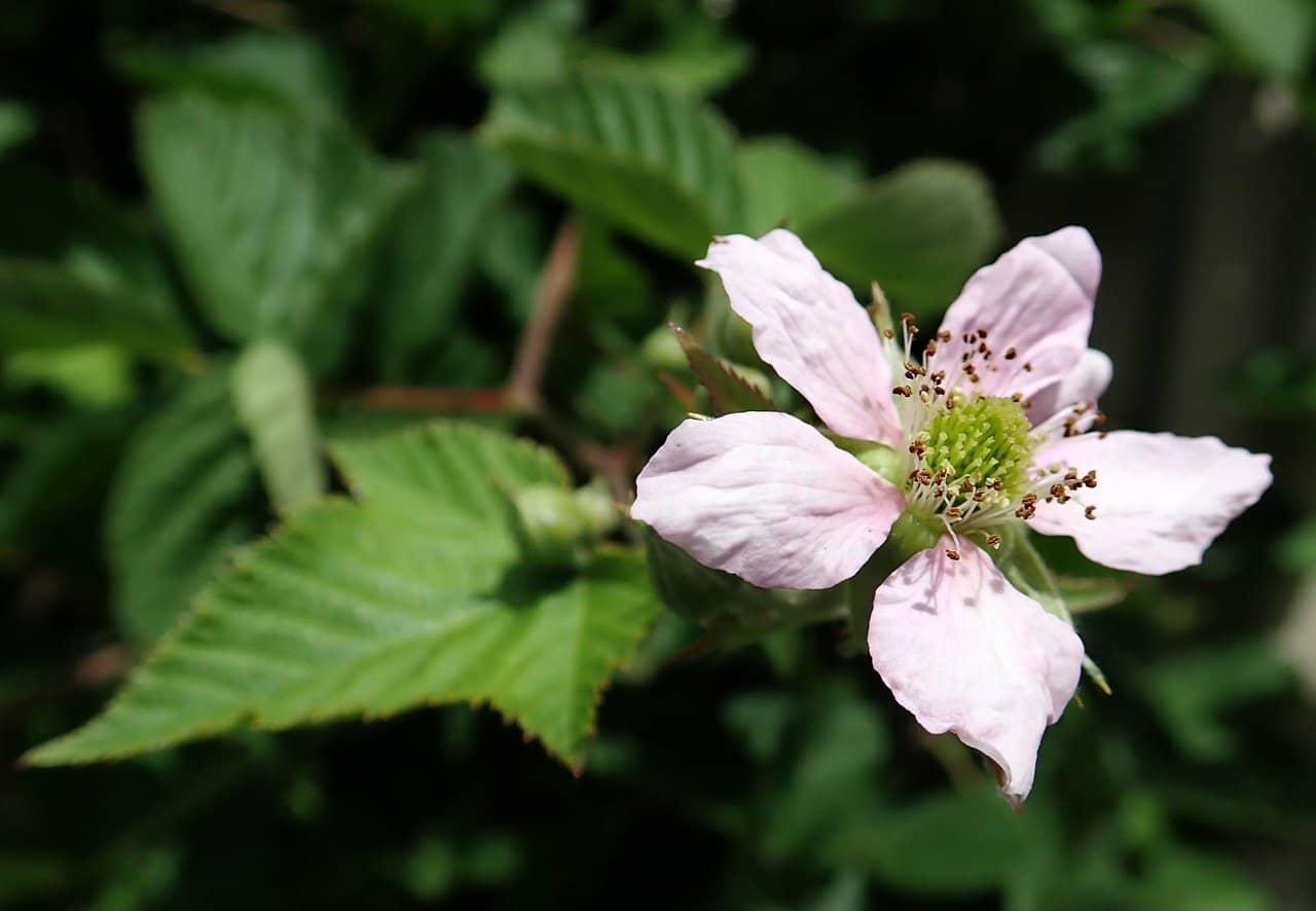 grow-blackberries-from-cuttings