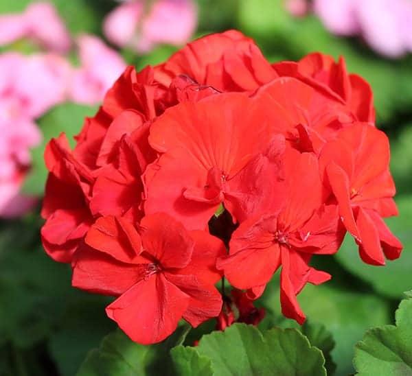 geranium-plant