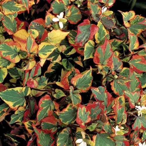 chameleon-plant