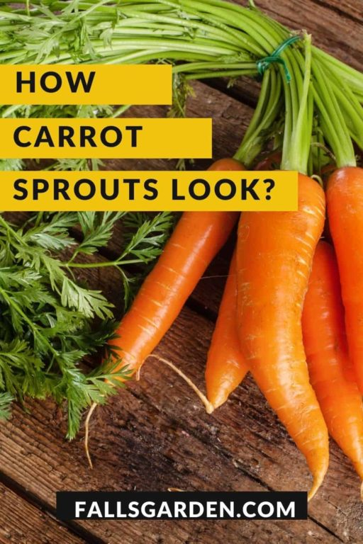 how-carrot-sprouts-look-like