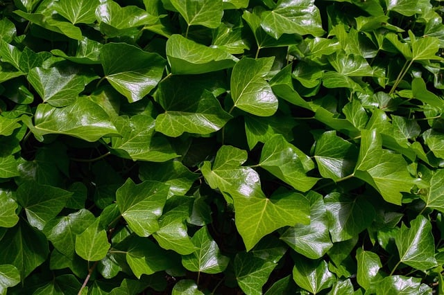 grow-english-ivy-water
