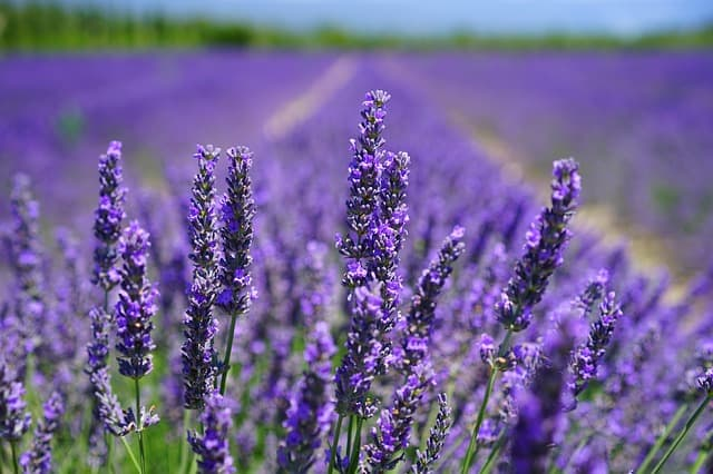 Repel-ants-with-lavender