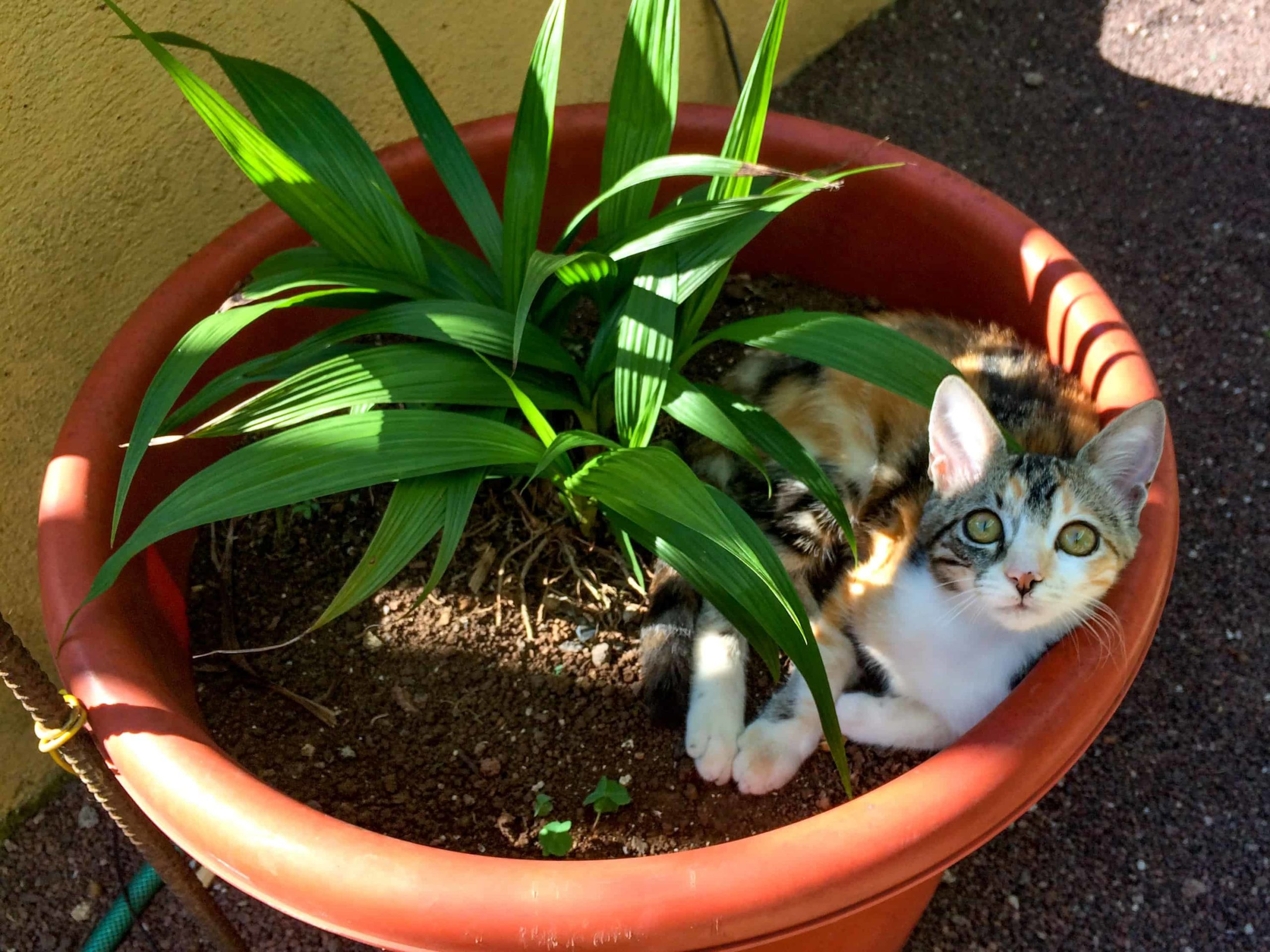 Cat-in-house-plant