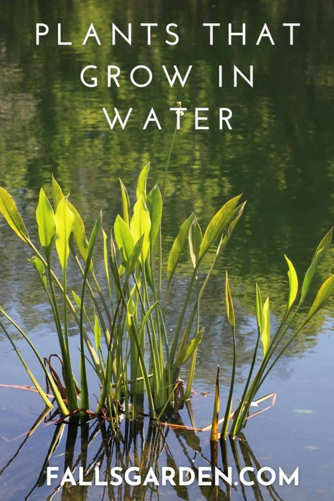 plants-that-grow-in-water