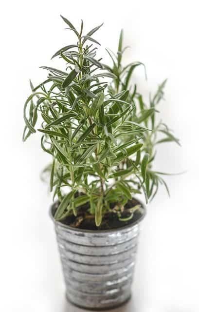 Rosemary-plant-ants