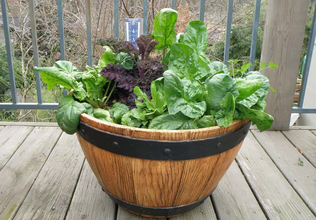 grow-spinach-indoors