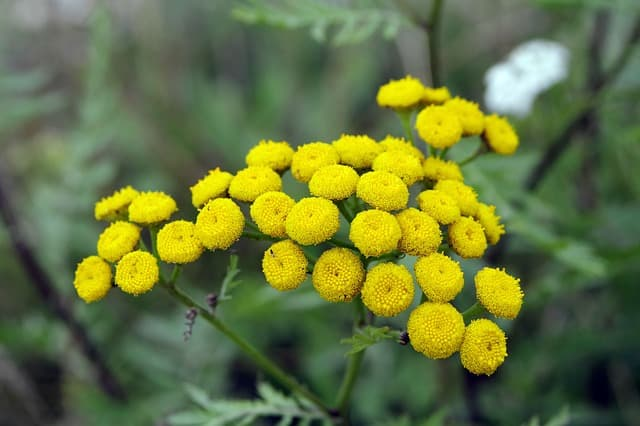 Tansy-golden-buttons
