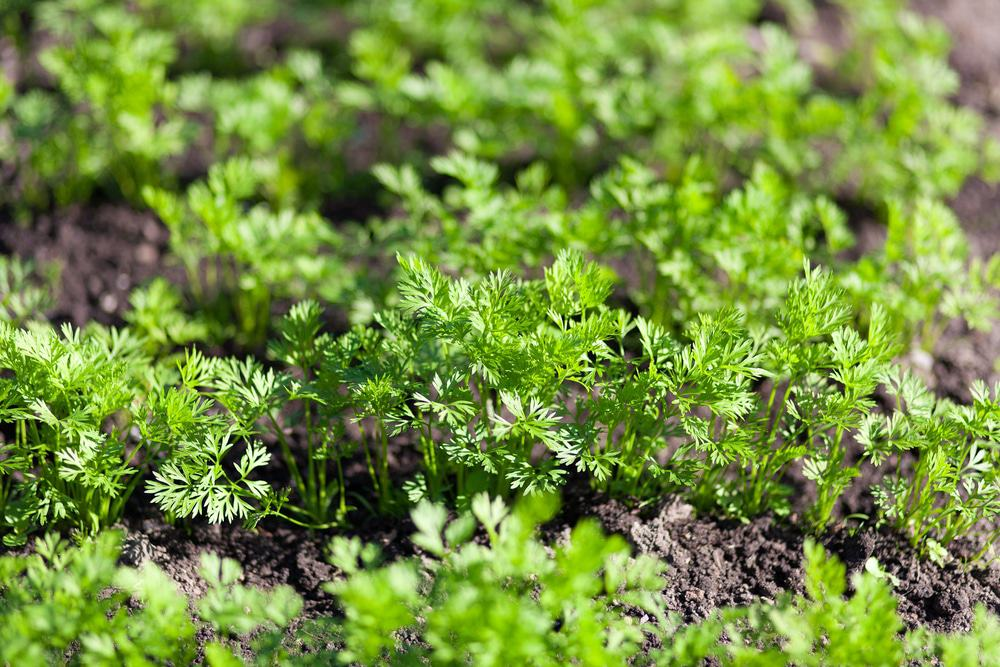 Identify-carrot-sprouts