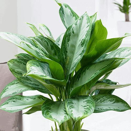 Chinese-evergreen-plant