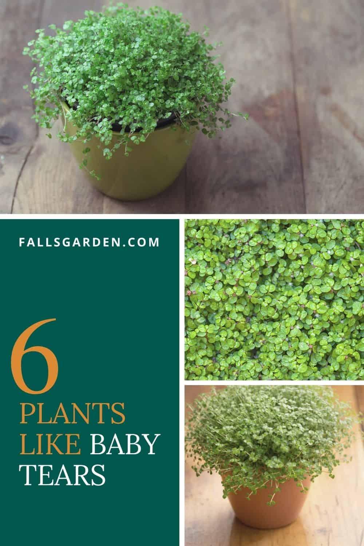 6-plants-like-baby-tears