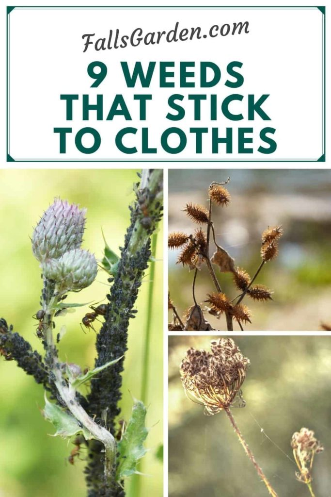 9-Weeds-That-Stick-To-Clothes