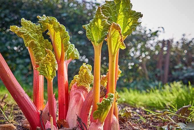 rhubarb-look-alike-plants