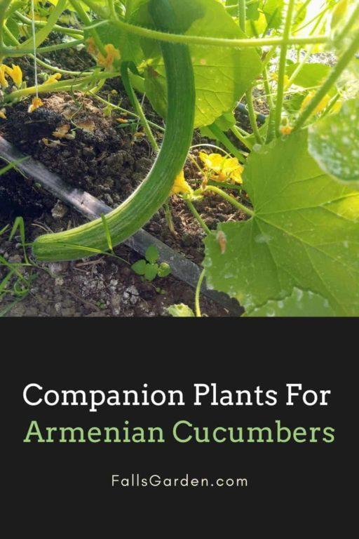 Best-Companion-Plants-For-Armenian-Cucumbers