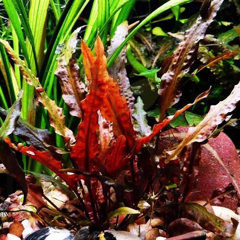 red-freshwater-aquarium-plants