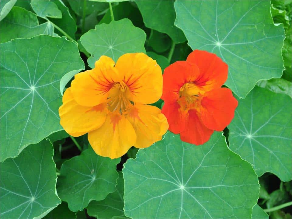 Nasturtium-plants-with-armenian-cucumbers
