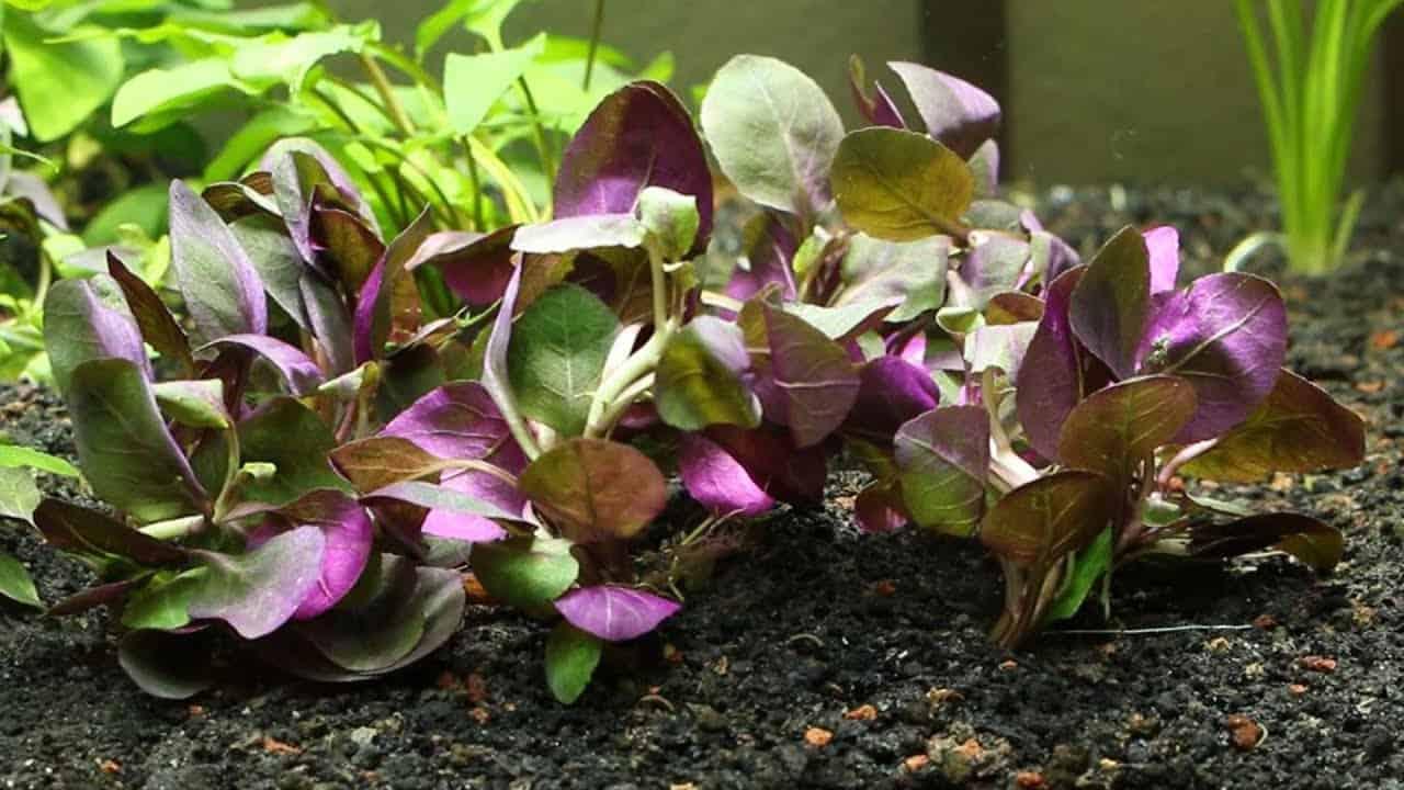 Lobelia-Cardinalis-red-freshwater-plants