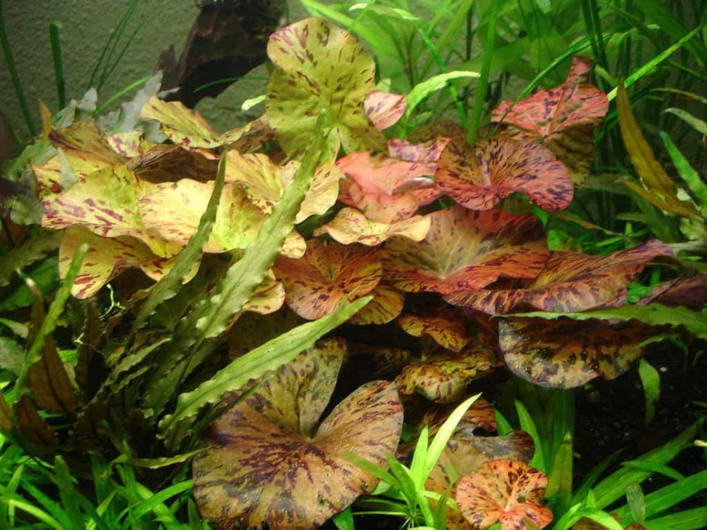 Nymphaea-Lotus-Zenkeri-Red-Tiger-Lotus