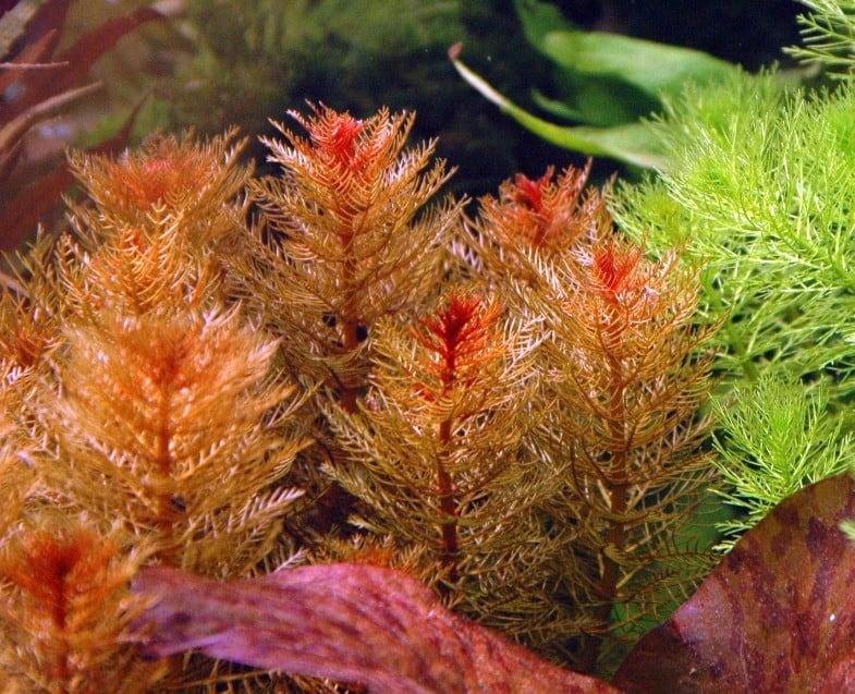 red aquarium plants