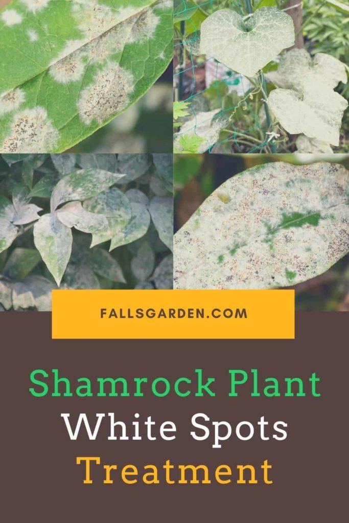 Shamrock-Plant-White-Spots-On-Leaves