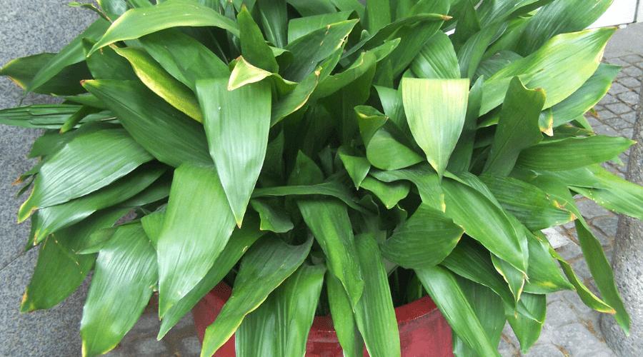 cast-iron-plant