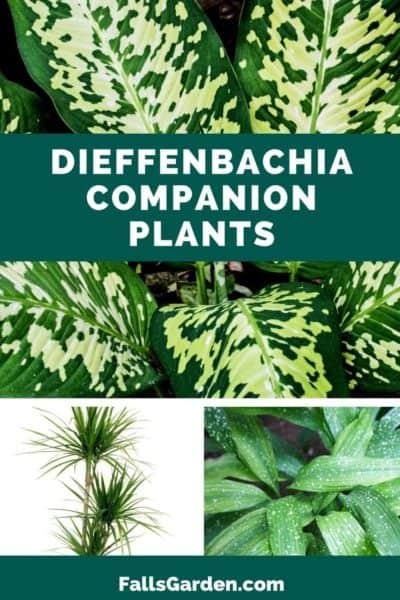 dieffenbachia-companion-plants