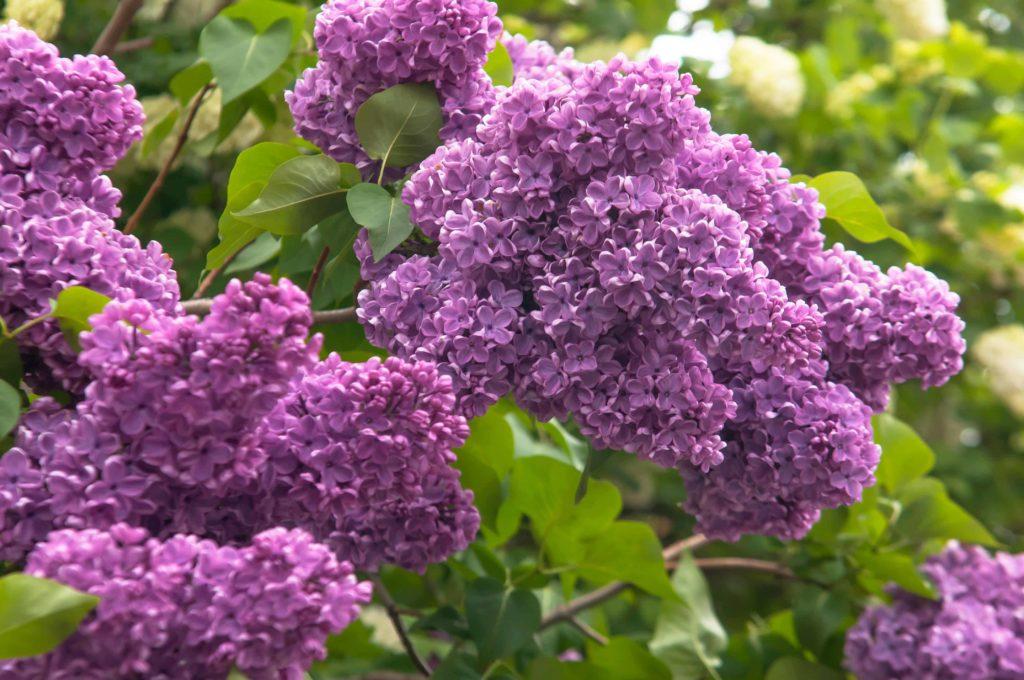 lilac-plant