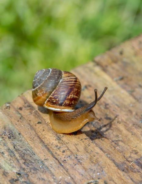 traps-for-snails